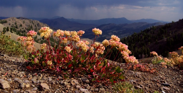 Eriogonum dichrocephalum, courtesy of Steve Love